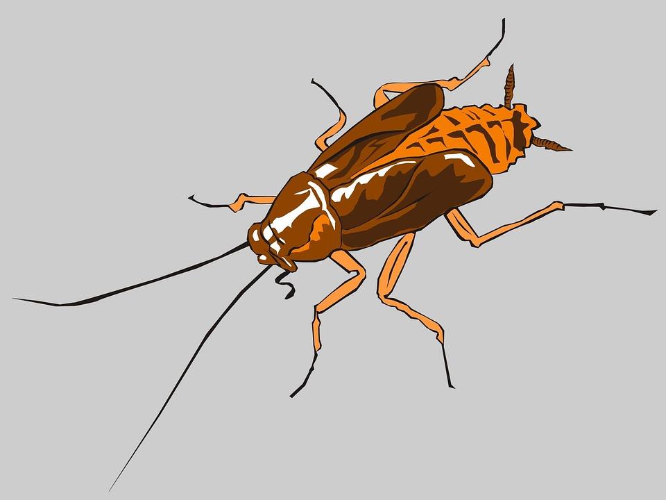 Les cafards, des insectes nuisibles